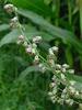 Mugwort common