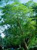 Baume de copahu