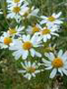 Chamomile, German blue