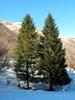 Balsam fir, organic