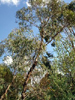 Eucalyptus à fleurs multiples BIO