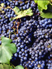 Pépins de raisin (extra fine)