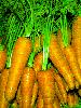 Carrot Organic