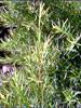 Mélaleuque à feuilles alternes BIO