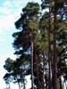 Douglas pine,  CO