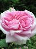 Rose de Turquie  BIO