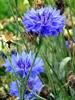 Blueberry  Organic