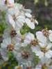 Cape chamomile