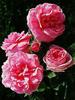 Rose centifoliée, BIO