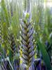 Germe de blé BIO