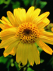 Arnica Organic (USDA), infused