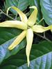Ylang-Ylang, certified organic