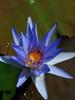 Lotus bleu, absolue