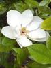 Magnolia, huile essentielle