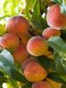Peach: Aroma