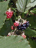 Blackberry, Organic