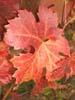 Red vine leaf, Organic