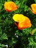 California poppy, Organic